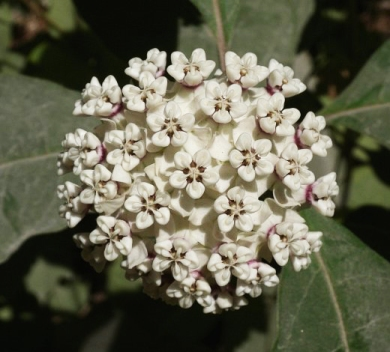 Asclepias variegate