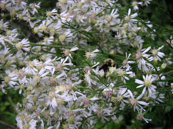 Symphyotrichum urophyllum (Aster sagittifolius)