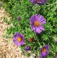 Symphyotrichum novae-angliae (Aster novae-angliae)