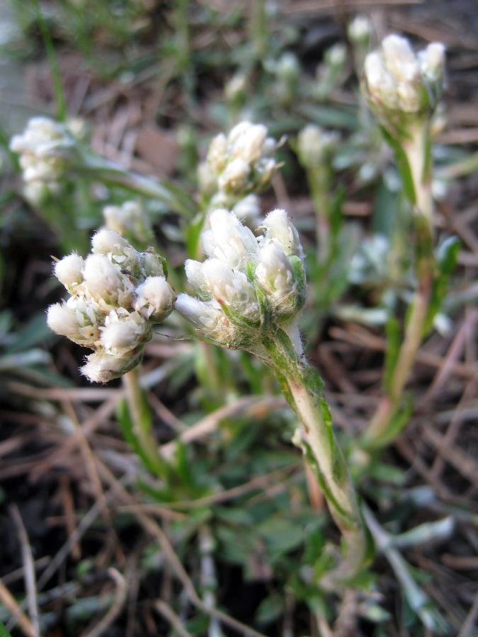 Anennaria neglecta