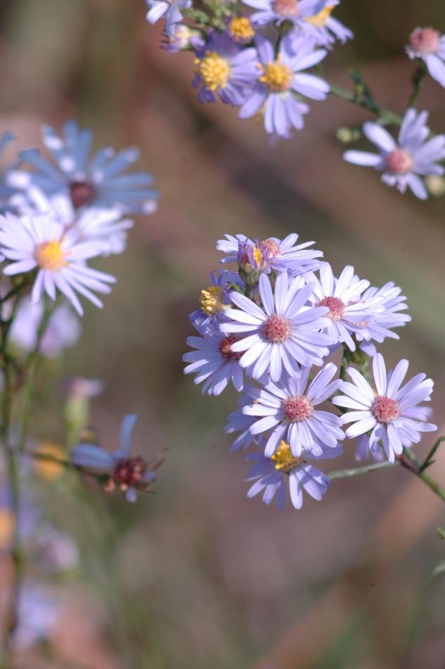 Symphyotrichum oolentangiense (Aster azureus)