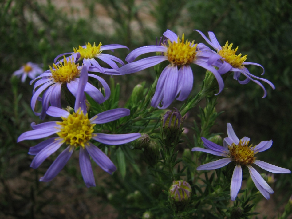 Ionactis linariifolius (Aster linariifolius)