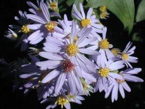 Symphyotrichum shortii (Aster shortii)