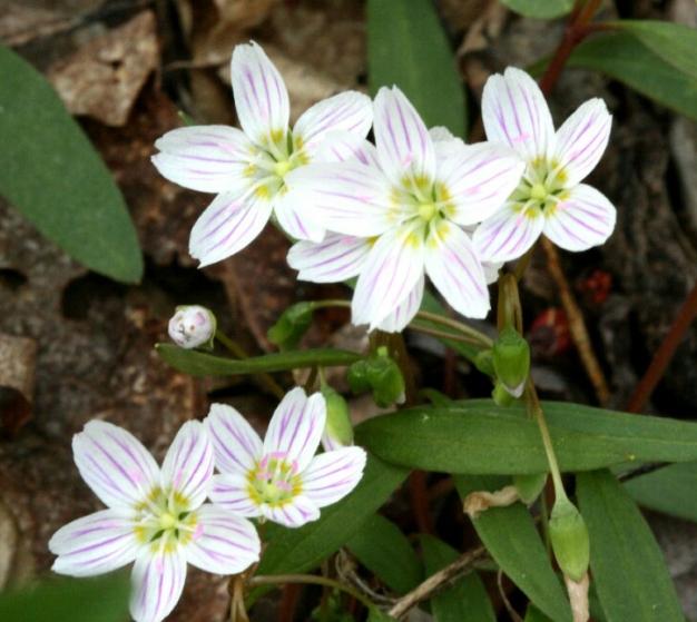 Claytonia caroliniana