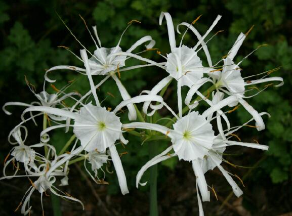 Hymenocallis occidentalis