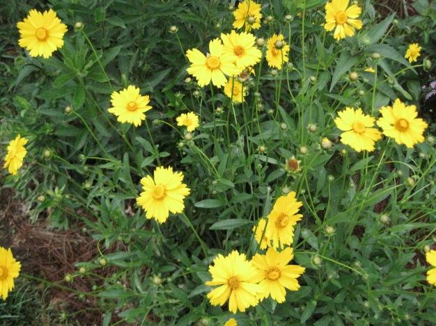 Coreopsis Lanceolata