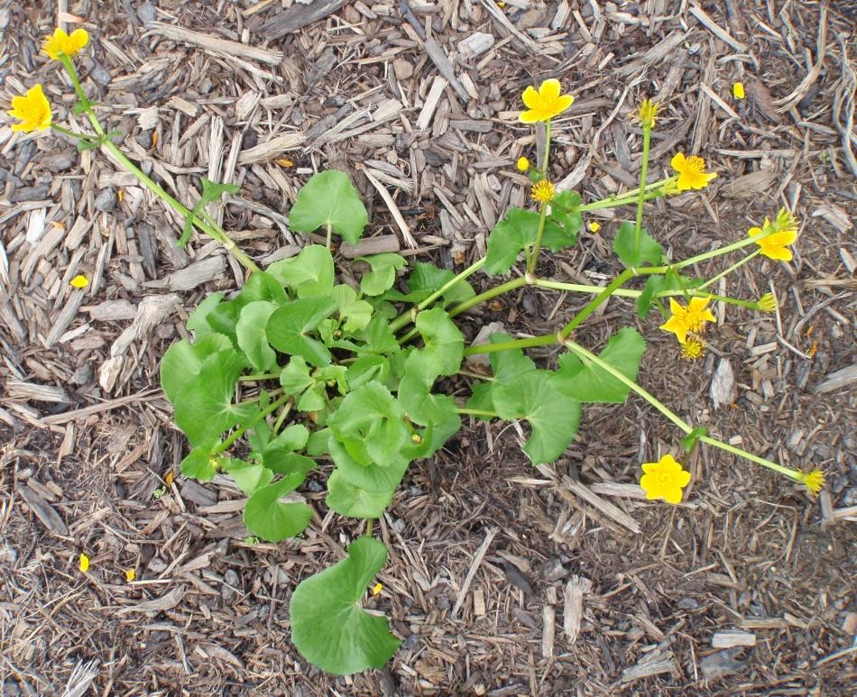 Catha palustris