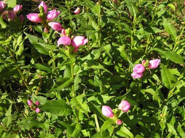 Chelone lyonii