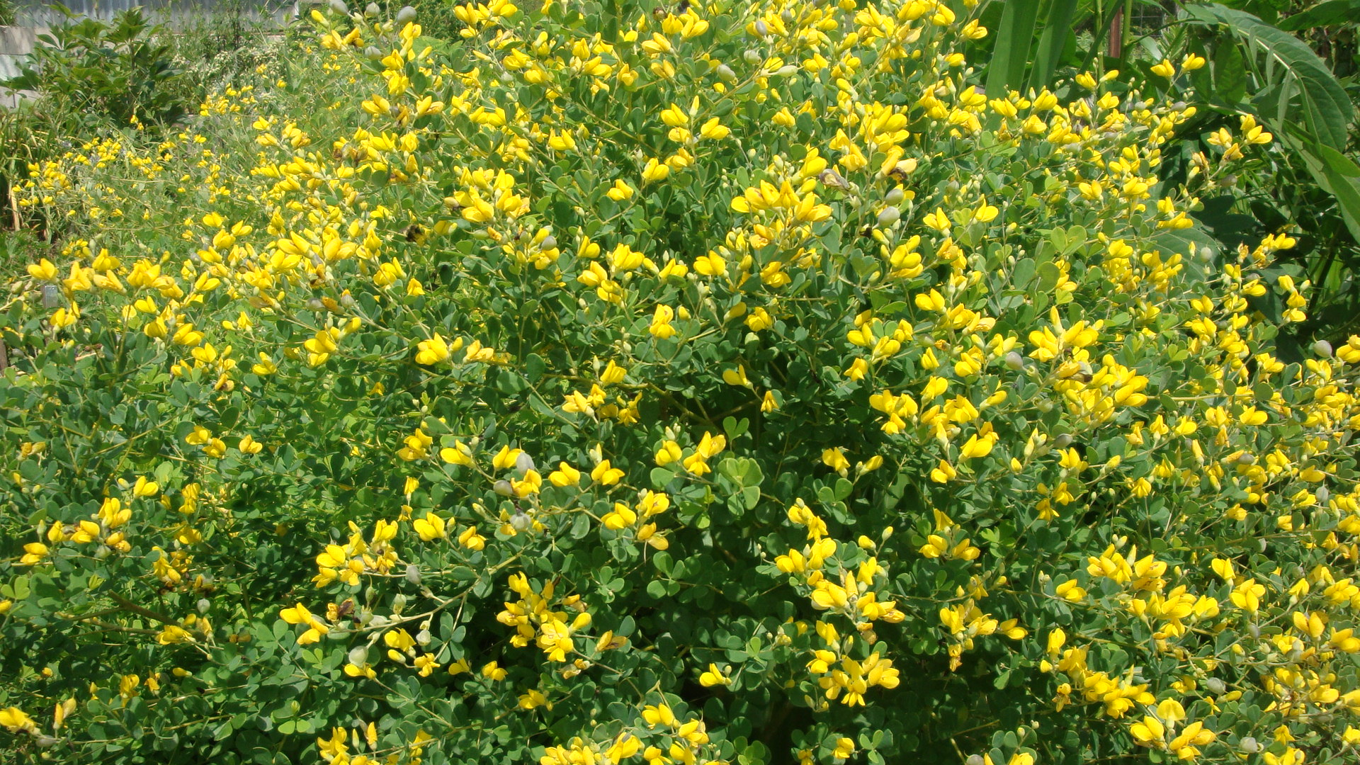 Small Yellow Wild Indigo Tennessee Smart Yards Native Plants