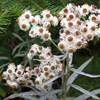 Anaphalis margaritacea - Pearly Everlasting - PM (1)_thumb
