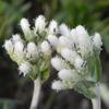 Antennaria plantaginigolia