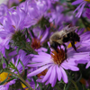 Aromatic Aster thumb