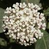 Asclepias_variegate_wht_milkweed1_THUMB