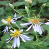 Aster big leaved asterThumbr