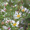 calico aster_thumb