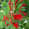 Cardinal Flower Thumb