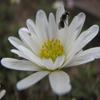 carolina anemone thumb