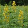 Cassia hebecarpa