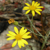 Chrysopsis_mariana_Maryland_golden aster_THUMB