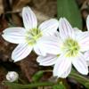 Claytonia caroliniana_Bart_Jones_THUMB