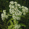common_boneset_THUMB