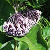 common milkweed Thumb