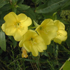 common_primrose2_THUMB