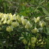 Cream Wild Indigo Thumb