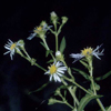 Crooked stem aster Thumbr