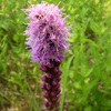 Dense Blazing Star Thumb