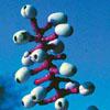 Dolls eyes baneberry Thumb