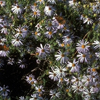 Drummonds aster Thumb