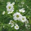 Euphorbia_corollata_2_THUMB
