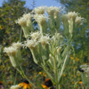 false_boneset1_THUMB