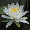 Fragrant_water_lily_2_THUMB