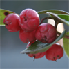 Gaultheria_procumbens_Wintergreen_THUMB