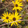 Helianthus angustifolius THUMB