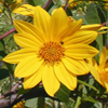 Helianthus_grosseserratus_THUMB
