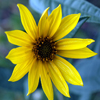 Helianthus_maximiliani_THUMB