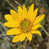 Helianthus_occidentalis_THUMB