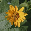 Heliopsis_ helianthoides_THUMB