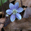 Hepatica americana2_Bart_Jones_THUMB