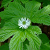 Hydrastis_canadensis_THUMB