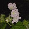 Hydrophyllum_appendiculatum_THUMB