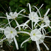 Hymenocallis caroliniana_Bart_Jones_THUMB