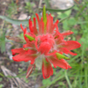 Indian paintbrush Thumb