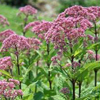 Joe pye weed Thumb