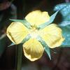 Ludwigia_alternifolia_THUMB