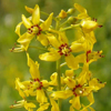 Lysimachia_terrestris_swamp_Candles_THUMB