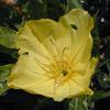 Oenothera_macrocarpa_THUMB